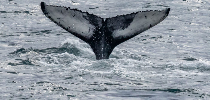 Fred. Olsen confirms whale-watching cruise programme with ORCA